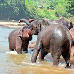 Pinnawala elephant orphanage in Rambukkana, Sri Lanka_530849791