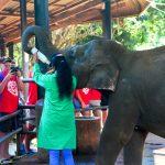 Pinnawala elephant orphanage in Rambukkana, Sri Lanka_529286929