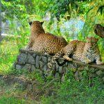 Sri Lankan Endemic Leopard At Pinnawala Open Air Zoo_333942302