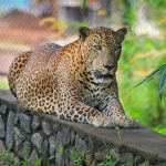 Sri Lankan Endemic Leopard At Pinnawala Open Air Zoo_333942314