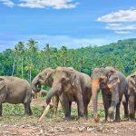 Pinnawala Elephant Orphanage_224317648