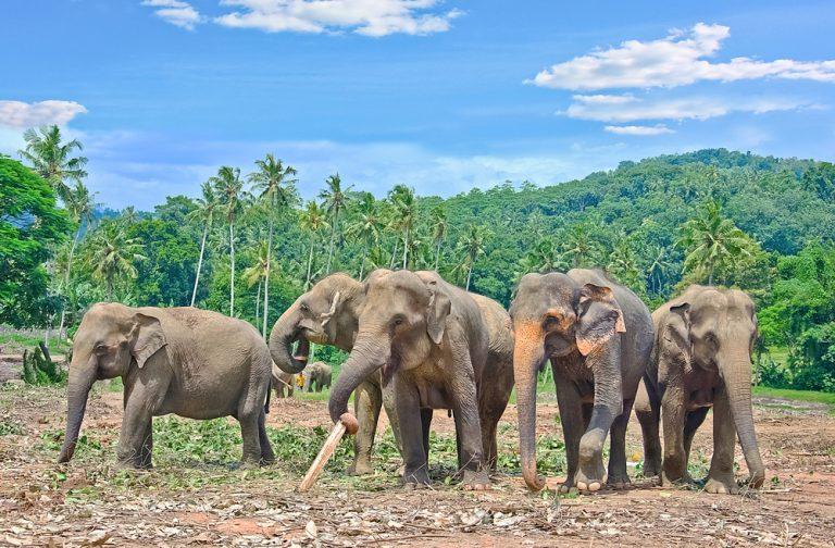 Pinnawala elephant orphanage in Rambukkana, Understanding Nature in Sri Lanka
