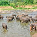 Pinnawala Elephant Orphanage_211821700