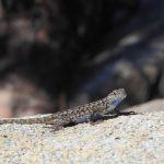 male Sagebrush Lizard in yosemite national park_558216301
