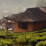 tea plantation and village at Ban Rak Thai_564041146