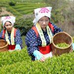 green tea harvest in Mitoyo Kagawa, Japan_188908952