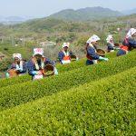 harvesting green tea leaves on hill of tea plantation _188909468