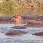 Numerous Hippopotamuses (Hippopotamus amphibius) bathe in river_135050969