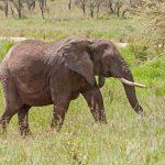 Adult elephant with big tusks goes in profile on savanna. Serengeti National Park_132557063