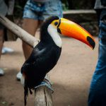 Toco toucan over a wood handrail at Birds Park_575732893