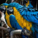 Blue and Gold Macaws standing on a branch at Birds Park_575728519