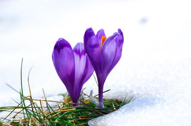 spring purple crocus