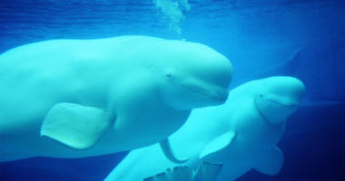 Students To Conduct Research On Beluga Whales In Alaska
