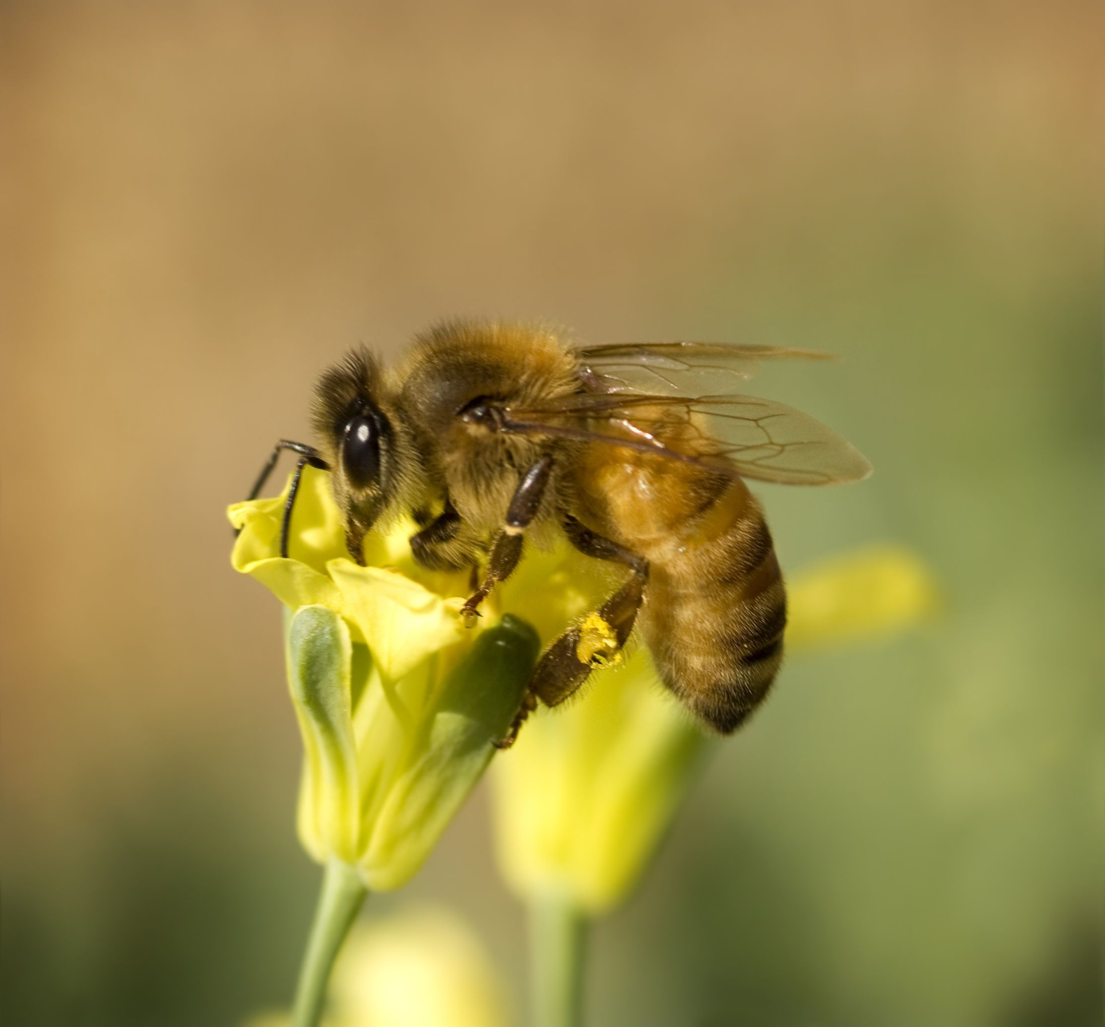 An Africanized honeybee on a flower