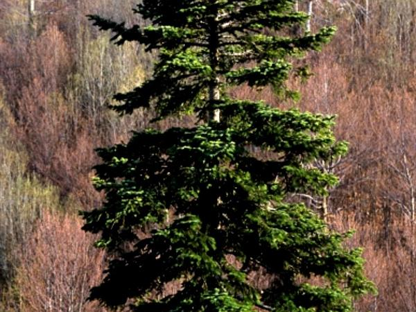 Silver Fir (Abies Alba) https://www.sagebud.com/silver-fir-abies-alba