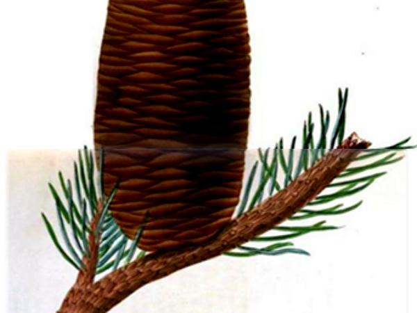 Pacific Silver Fir (Abies Amabilis) https://www.sagebud.com/pacific-silver-fir-abies-amabilis