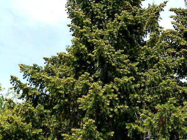 Bristlecone Fir (Abies Bracteata) https://www.sagebud.com/bristlecone-fir-abies-bracteata