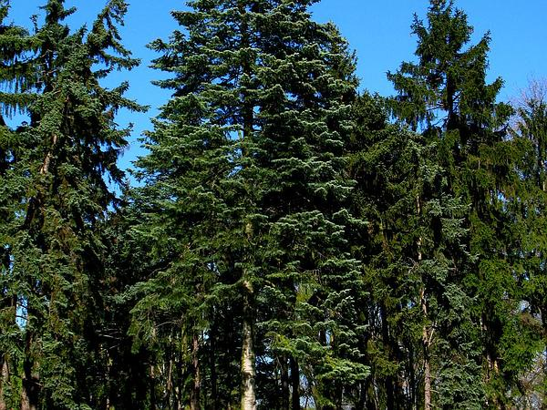 White Fir (Abies Concolor) https://www.sagebud.com/white-fir-abies-concolor