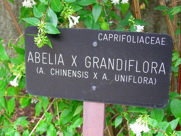 Abelia (Abelia) https://www.sagebud.com/abelia-abelia/
