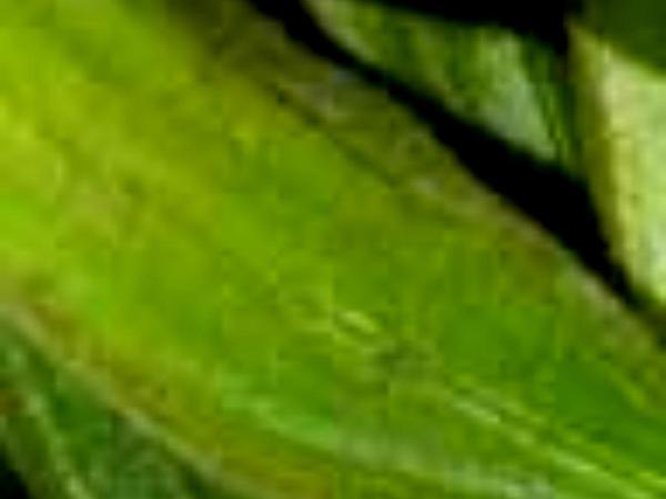 Okra (Abelmoschus) https://www.sagebud.com/okra-abelmoschus/