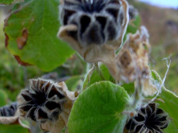 Hairy Indian Mallow (Abutilon Grandifolium) https://www.sagebud.com/hairy-indian-mallow-abutilon-grandifolium