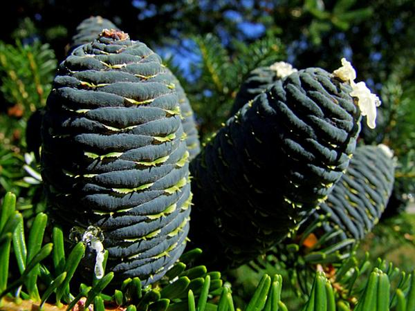 Fir (Abies) https://www.sagebud.com/fir-abies
