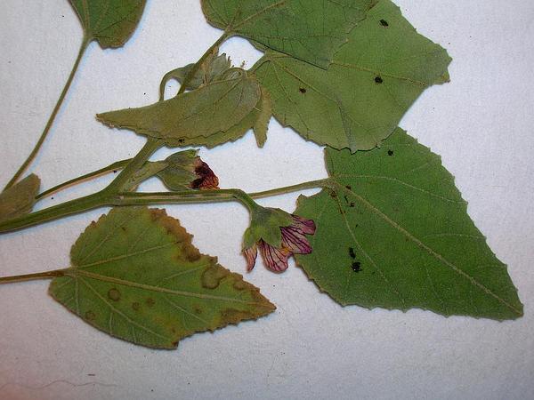 Pelotazo (Abutilon Incanum) https://www.sagebud.com/pelotazo-abutilon-incanum
