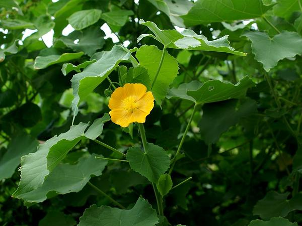 Monkeybush (Abutilon Indicum) https://www.sagebud.com/monkeybush-abutilon-indicum/