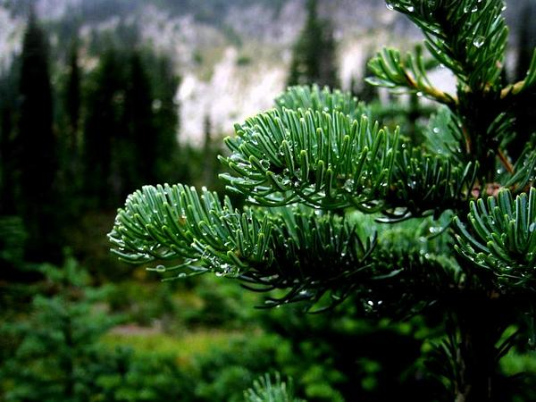 Subalpine Fir (Abies Lasiocarpa) https://www.sagebud.com/subalpine-fir-abies-lasiocarpa