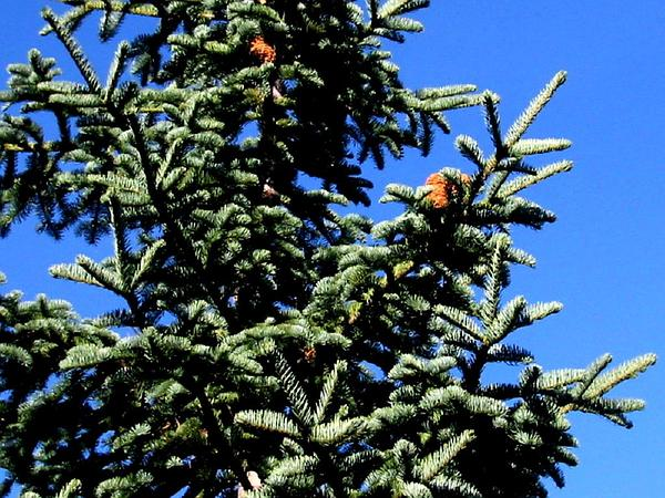 California Red Fir (Abies Magnifica) https://www.sagebud.com/california-red-fir-abies-magnifica