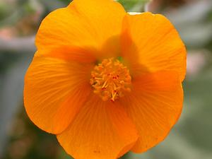 Palmer's Indian Mallow