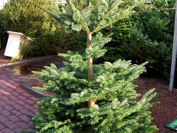 Noble Fir (Abies Procera) https://www.sagebud.com/noble-fir-abies-procera