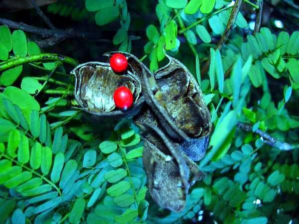 Rosarypea (Abrus Precatorius) https://www.sagebud.com/rosarypea-abrus-precatorius