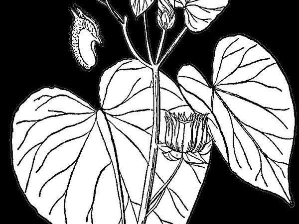 Velvetleaf (Abutilon Theophrasti) https://www.sagebud.com/velvetleaf-abutilon-theophrasti