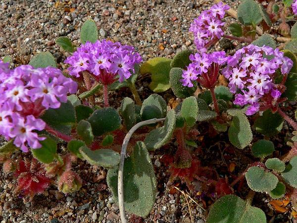 Desert Sand Verbena (Abronia Villosa) https://www.sagebud.com/desert-sand-verbena-abronia-villosa