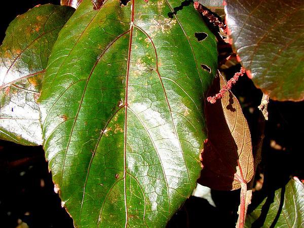 Copperleaf (Acalypha) https://www.sagebud.com/copperleaf-acalypha
