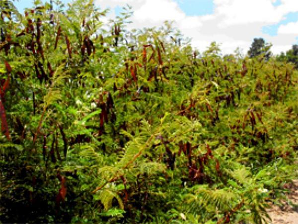 Prairie Acacia (Acacia Angustissima) https://www.sagebud.com/prairie-acacia-acacia-angustissima