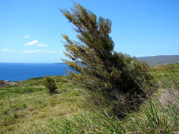 Mulga (Acacia Aneura) https://www.sagebud.com/mulga-acacia-aneura