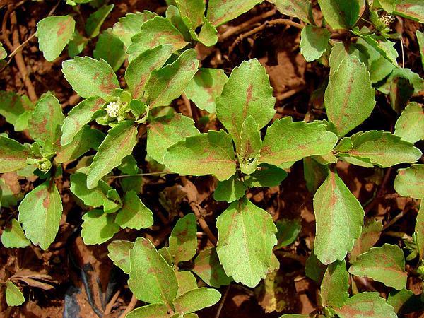 Starbur (Acanthospermum) https://www.sagebud.com/starbur-acanthospermum
