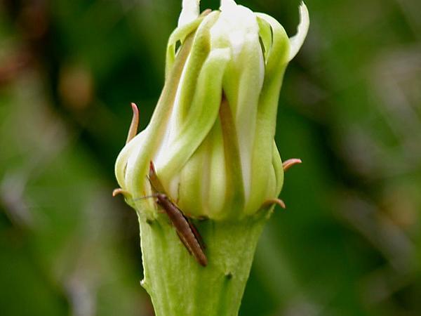 Triangle Cactus (Acanthocereus) https://www.sagebud.com/triangle-cactus-acanthocereus/