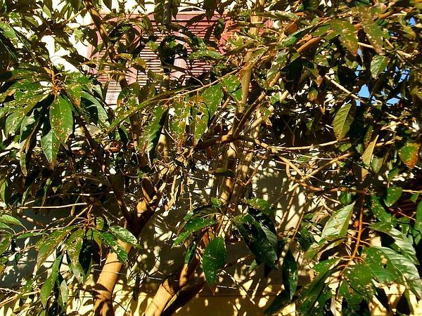 Hollowheart (Acnistus Arborescens) https://www.sagebud.com/hollowheart-acnistus-arborescens