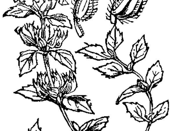 Basil Thyme (Acinos Arvensis) https://www.sagebud.com/basil-thyme-acinos-arvensis