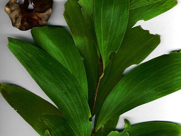Earleaf Acacia (Acacia Auriculiformis) https://www.sagebud.com/earleaf-acacia-acacia-auriculiformis