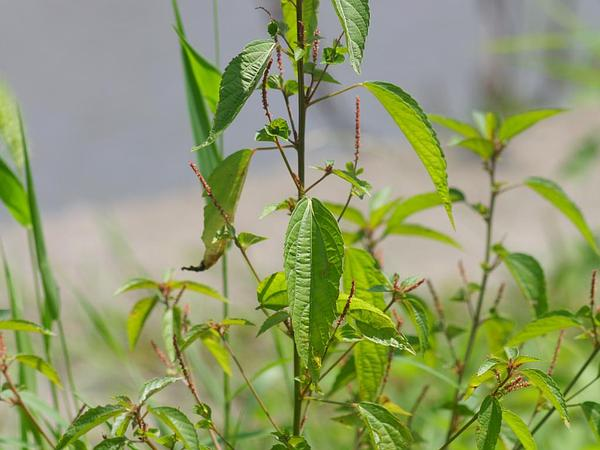 Asian Copperleaf (Acalypha Australis) https://www.sagebud.com/asian-copperleaf-acalypha-australis