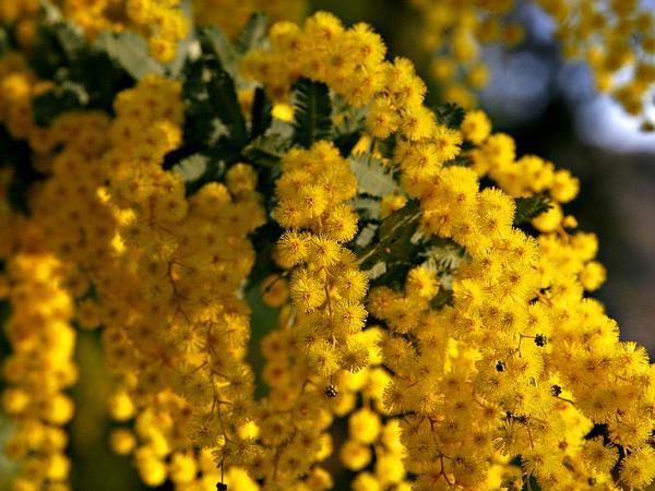 Cootamundra Wattle (Acacia Baileyana) https://www.sagebud.com/cootamundra-wattle-acacia-baileyana