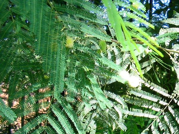 Guajillo (Acacia Berlandieri) https://www.sagebud.com/guajillo-acacia-berlandieri