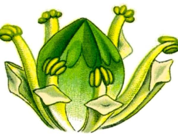 Calamus (Acorus Calamus) https://www.sagebud.com/calamus-acorus-calamus