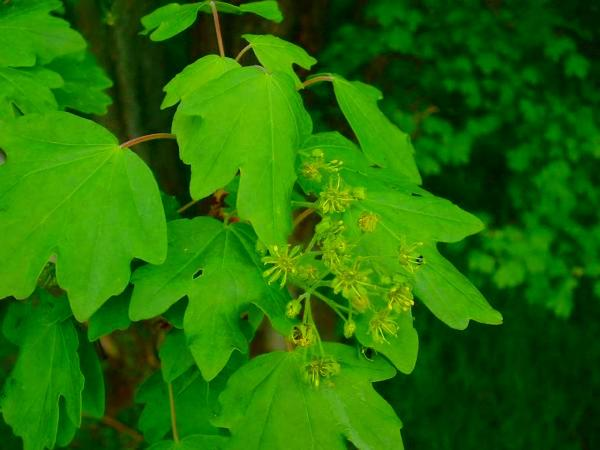 Hedge Maple (Acer Campestre) https://www.sagebud.com/hedge-maple-acer-campestre