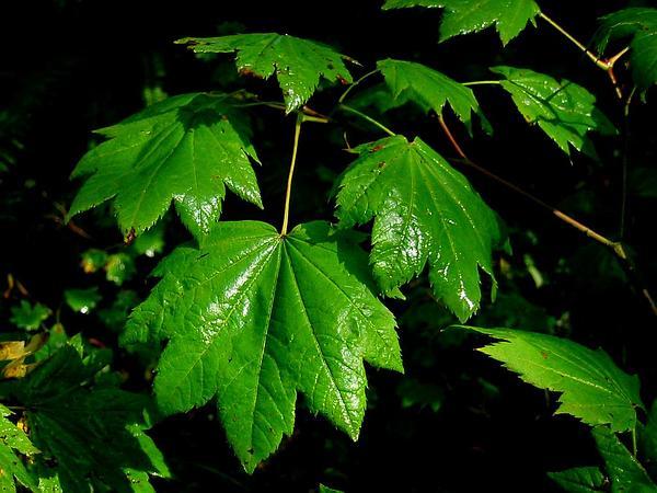 Vine Maple (Acer Circinatum) https://www.sagebud.com/vine-maple-acer-circinatum