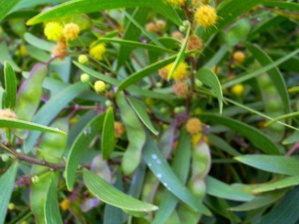 Small Philippine Acacia (Acacia Confusa) https://www.sagebud.com/small-philippine-acacia-acacia-confusa